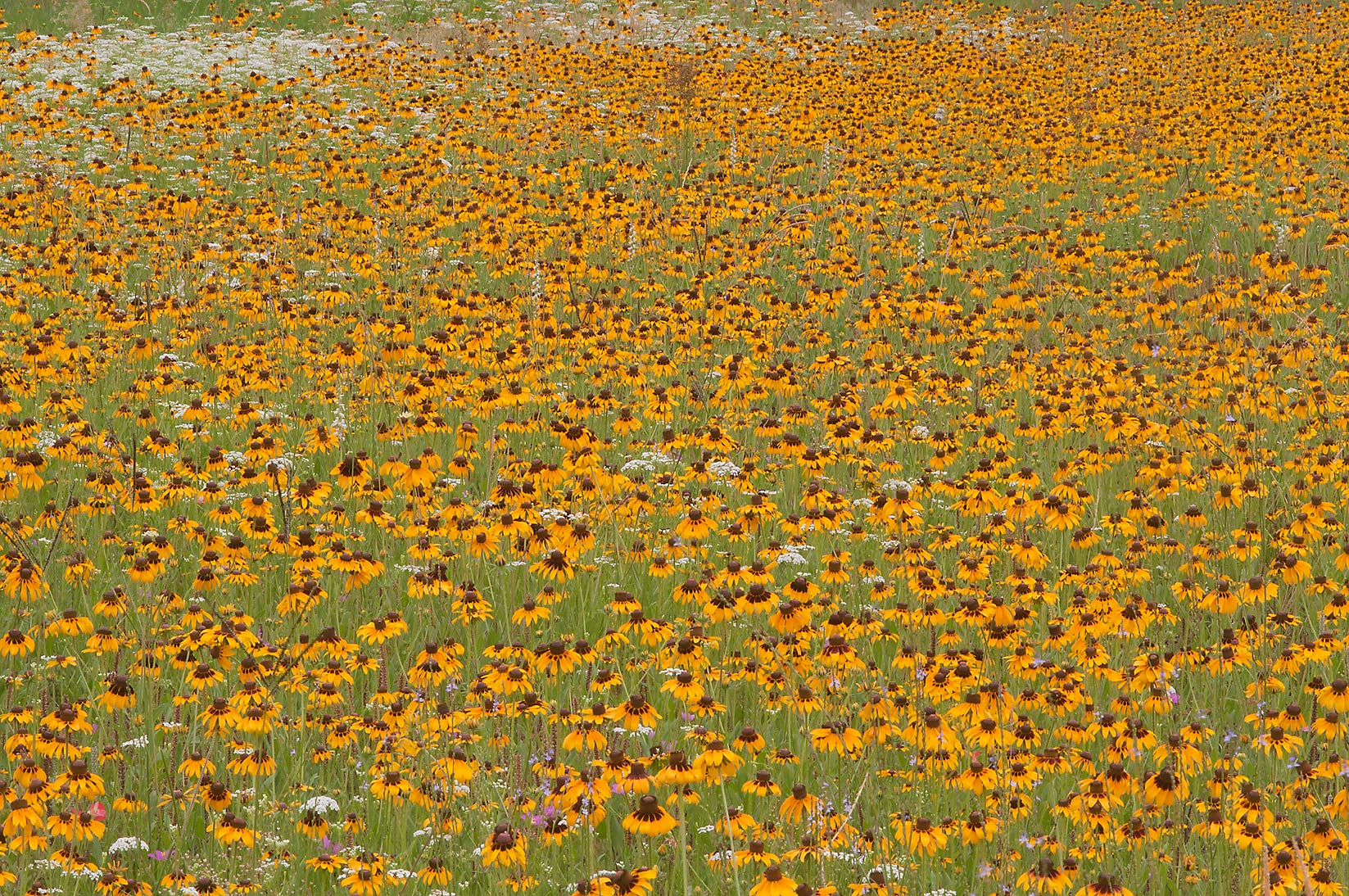 Field Of Yellow Flowers Search In Pictures