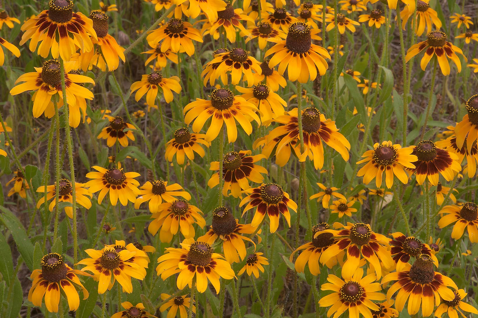 Yellow flowers of Black eyed susan at equestrian...Creek Park. College Station, Texas