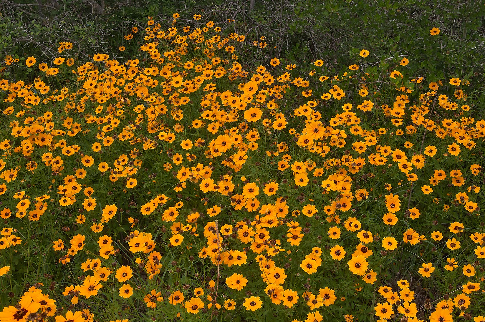 Coreopsis near bushes of Yaupon Holly in Lick Creek Park. College Station, Texas