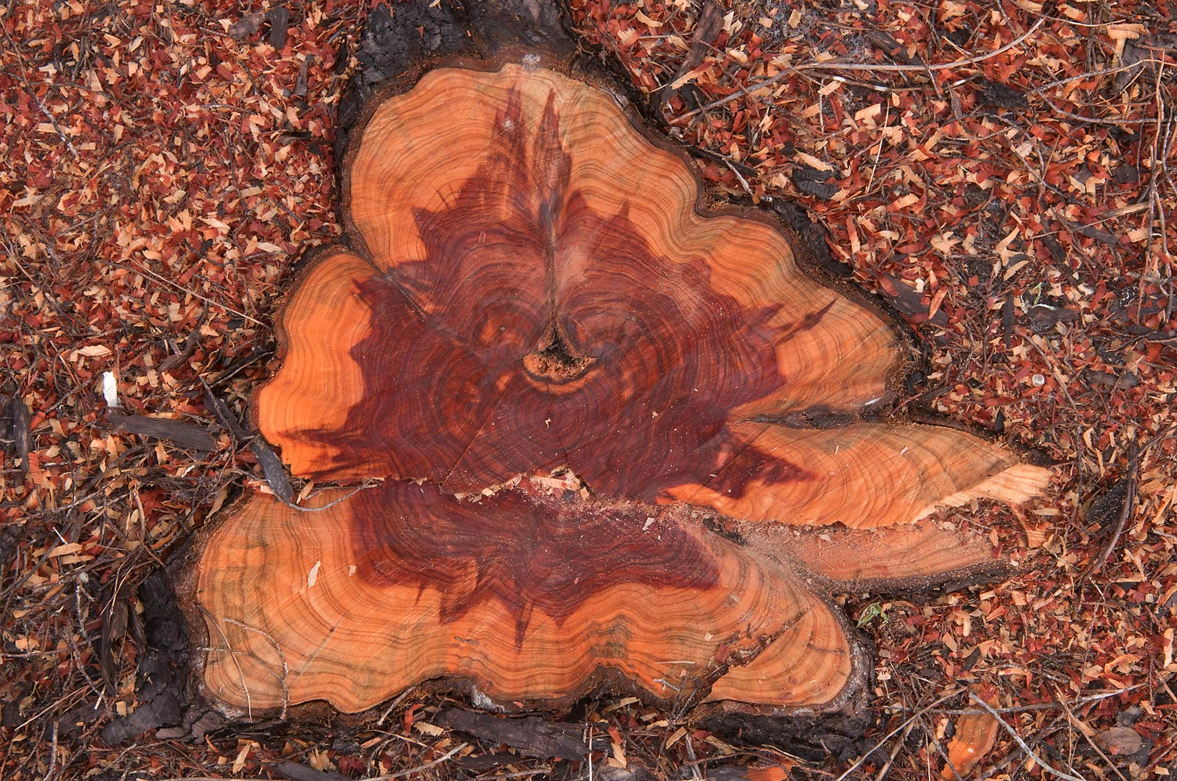 Stump of dried cedar tree near Loop Trail in...State Historic Site. Washington, Texas