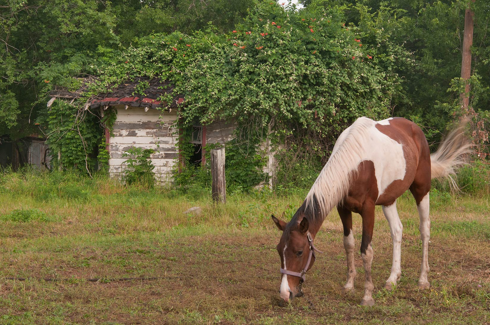 Horse on West Logan St.. Calvert, Texas