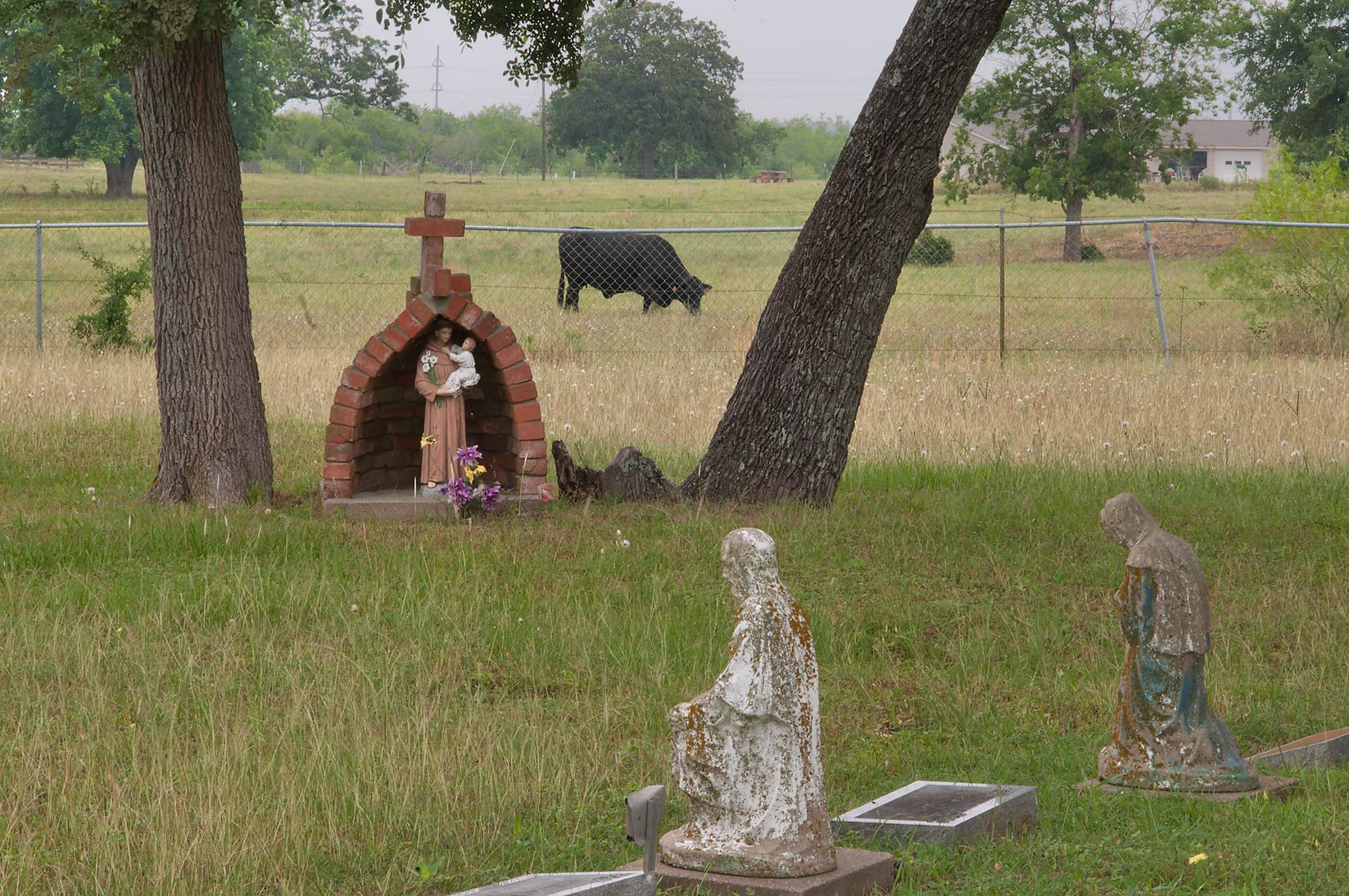 Tombs and cows in a cemetery at Mission de Cristo...Port Sullivan, west from Hearne. Texas