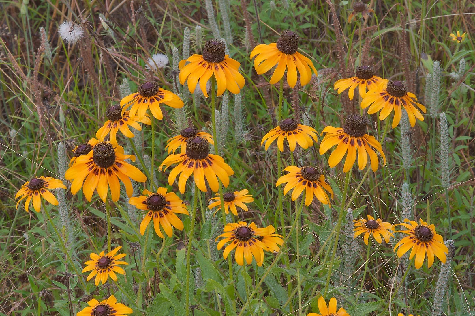 Black eyed susan (Rudbeckia hirta) in Lick Creek Park. College Station, Texas