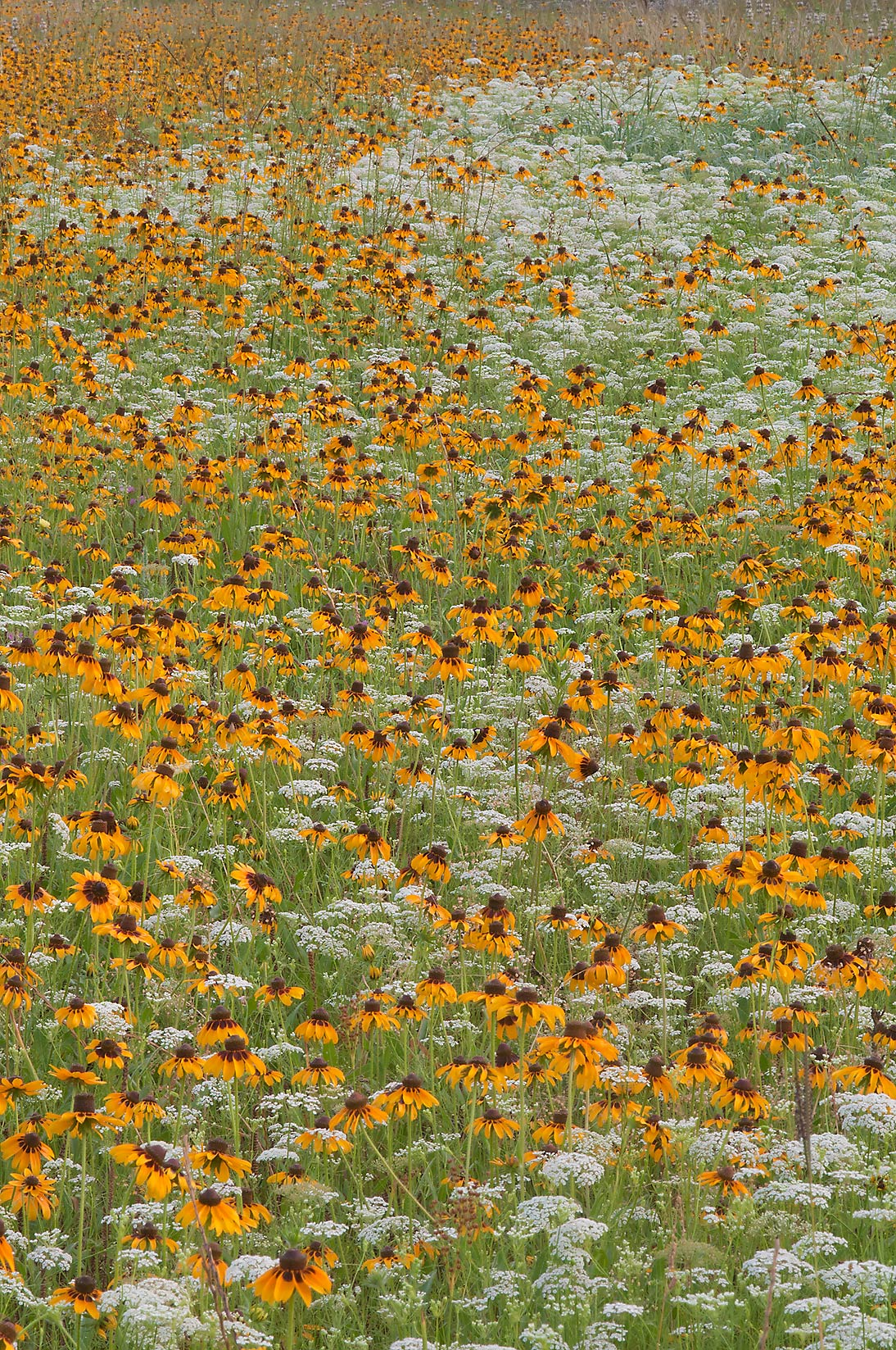 Field of Black eyed susans (Rudbeckia hirta) and...Creek Park. College Station, Texas