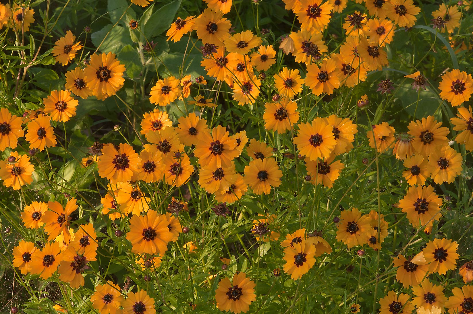 Coreopsis flowers at Post Oak Trail in Lick Creek Park. College Station, Texas