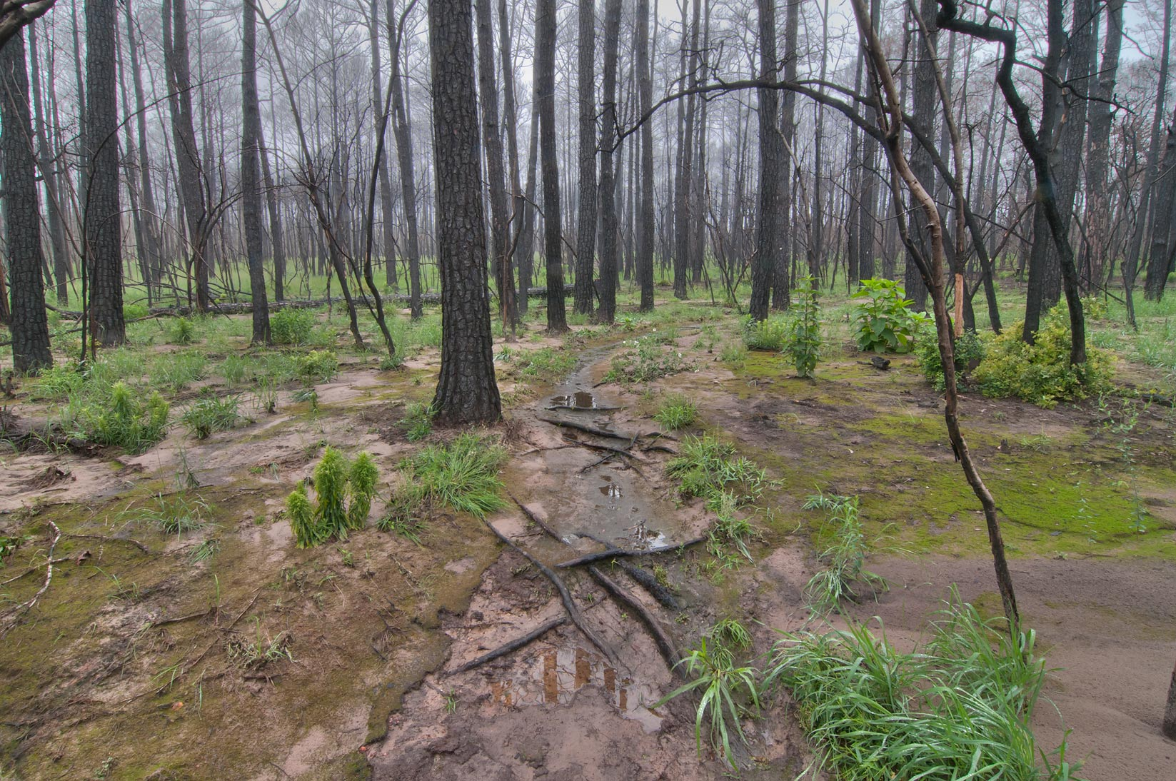 Photo 1053-13: Lost Pines hiking trail in Bastrop State ...
