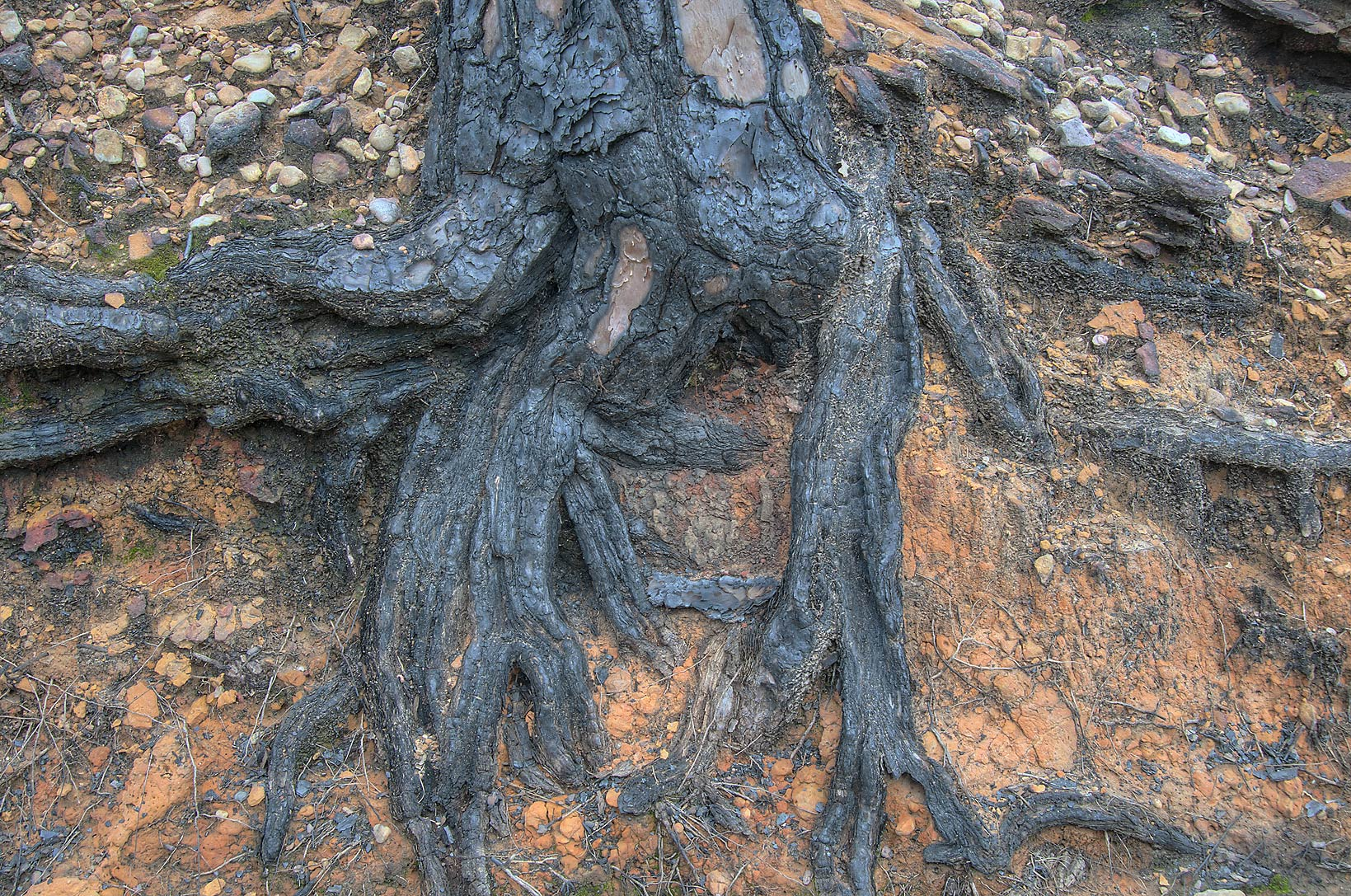 Blackened pine roots in Bastrop State Park. Bastrop, Texas