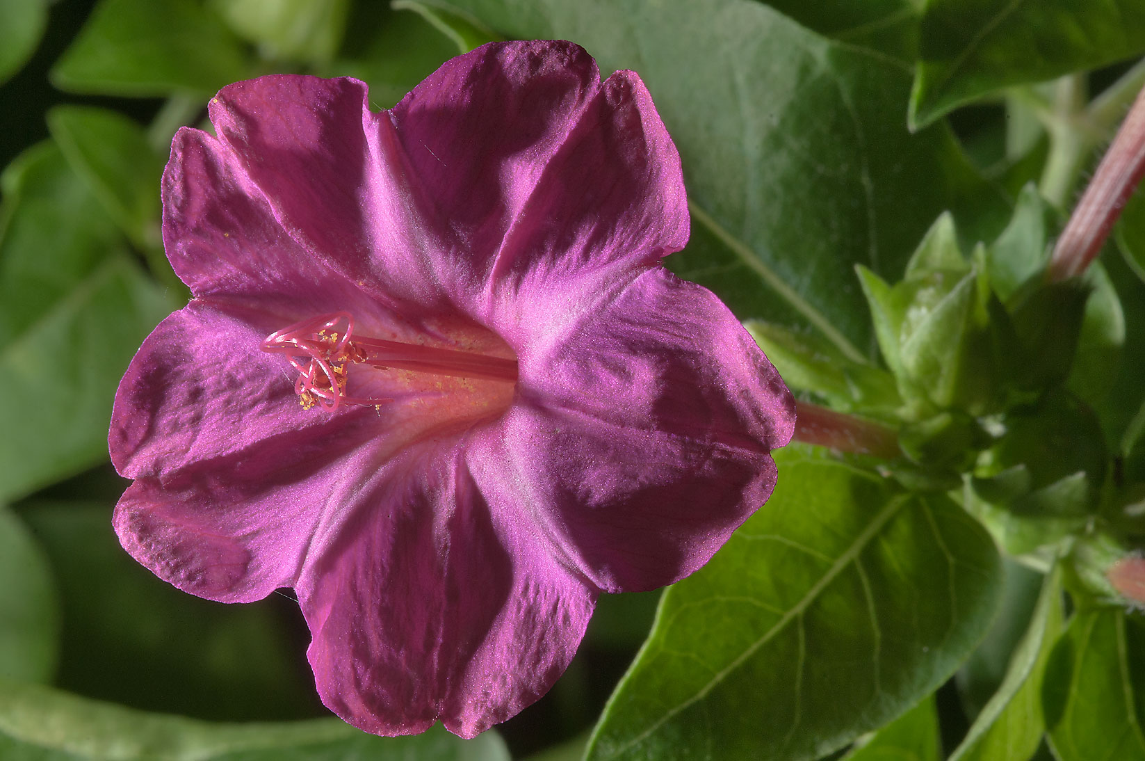 Four O'clock flowers (Mirabilis Jalapa) in TAMU...M University. College Station, Texas