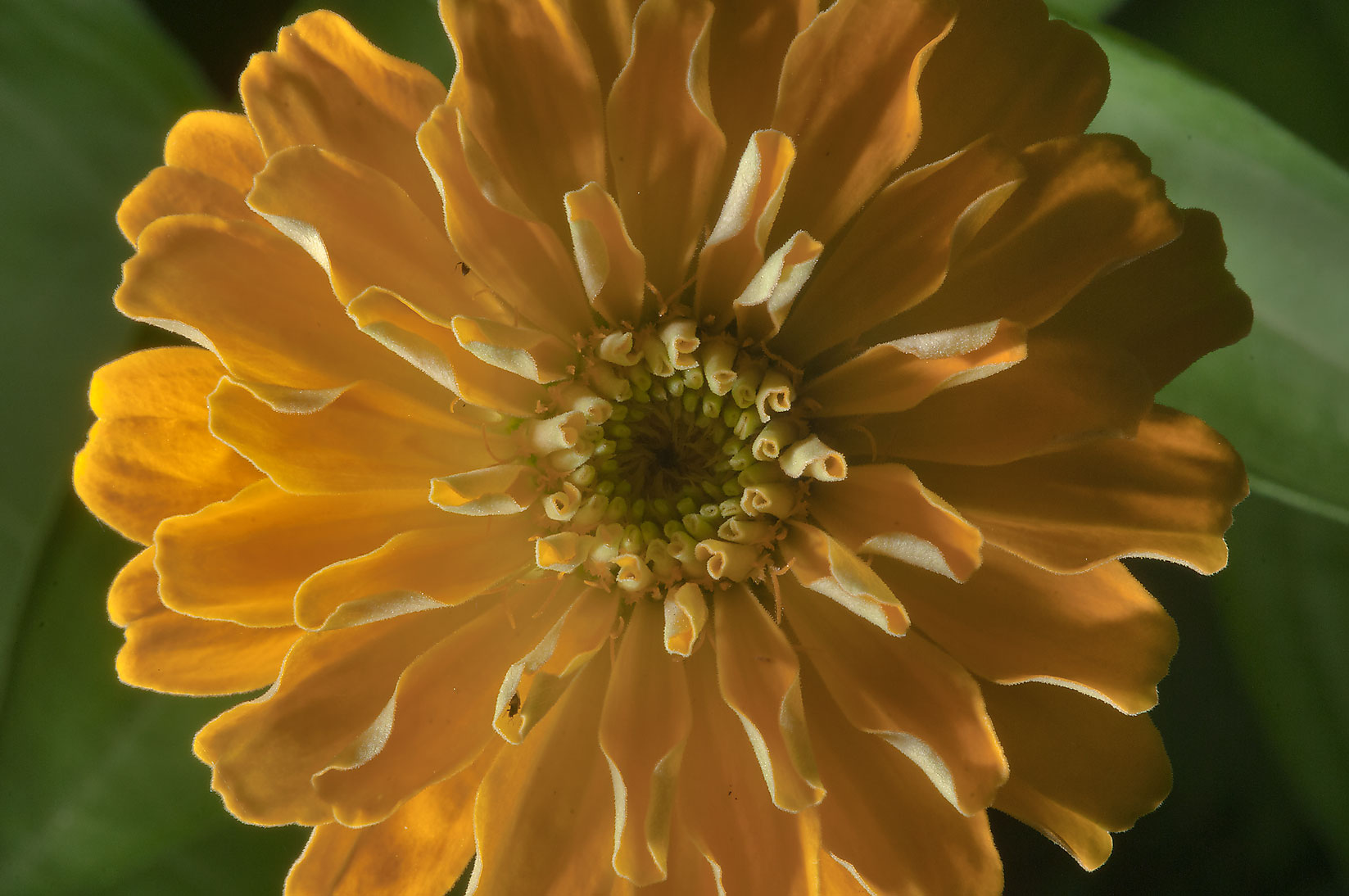 Yellow zinnia in TAMU Holistic Garden in Texas A&M University. College Station, Texas
