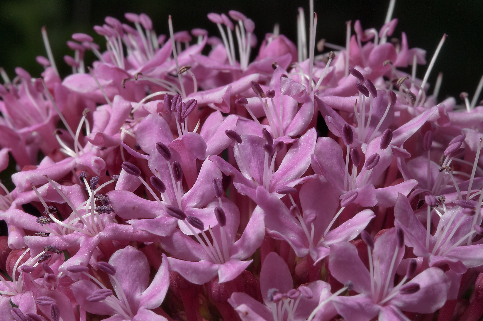 Flowers of Cashmere Bouquet (Clerodendron bungei...Rose Emporium. Independence, Texas