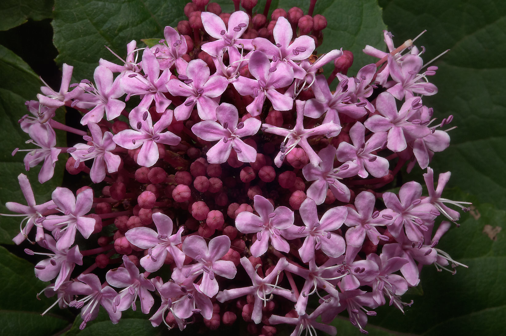 Cashmere Bouquet (Clerodendron bungei) in Antique Rose Emporium. Independence, Texas