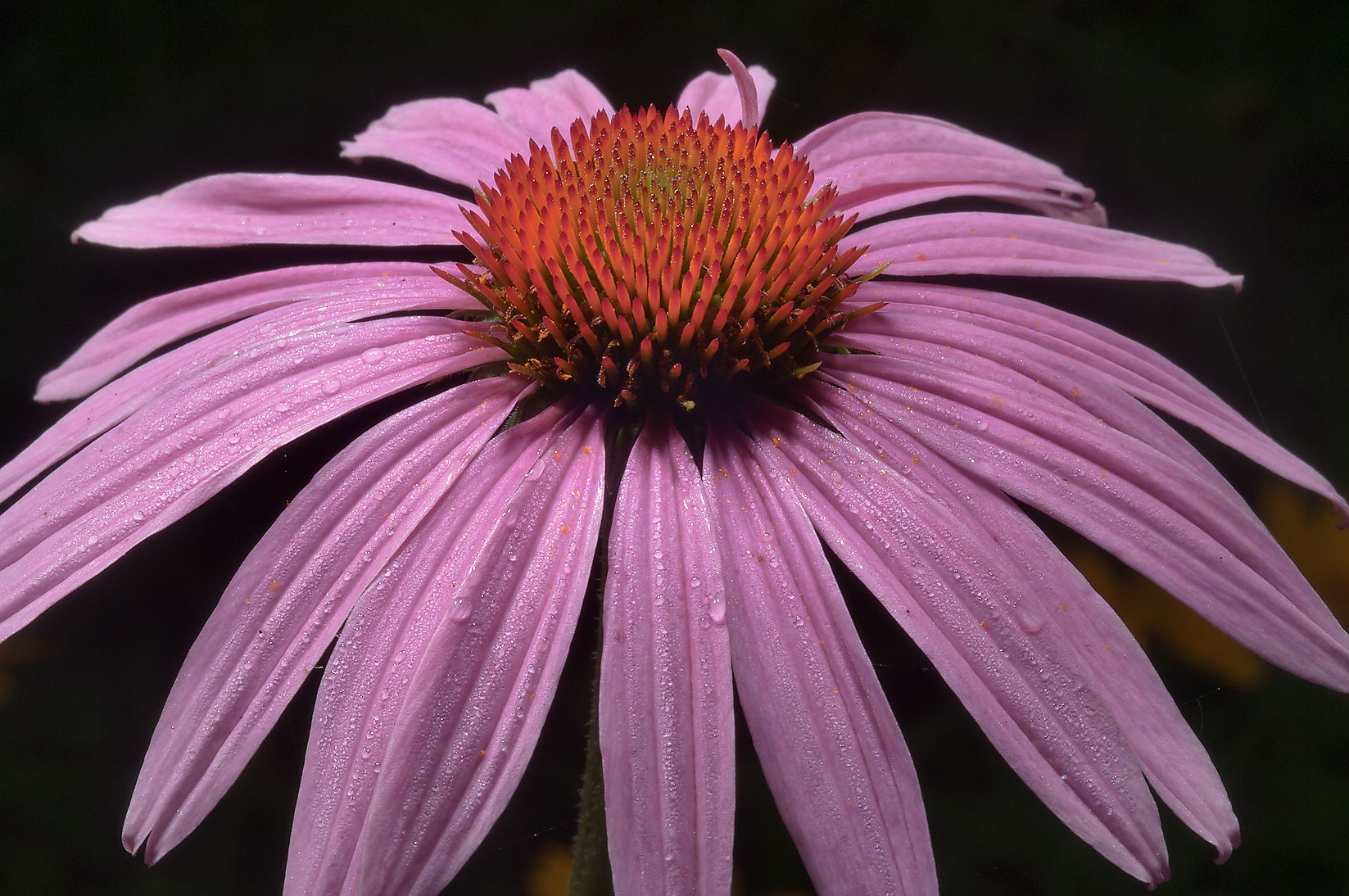 Purple coneflower in Mercer Arboretum and Botanical Gardens. Humble (Houston area), Texas