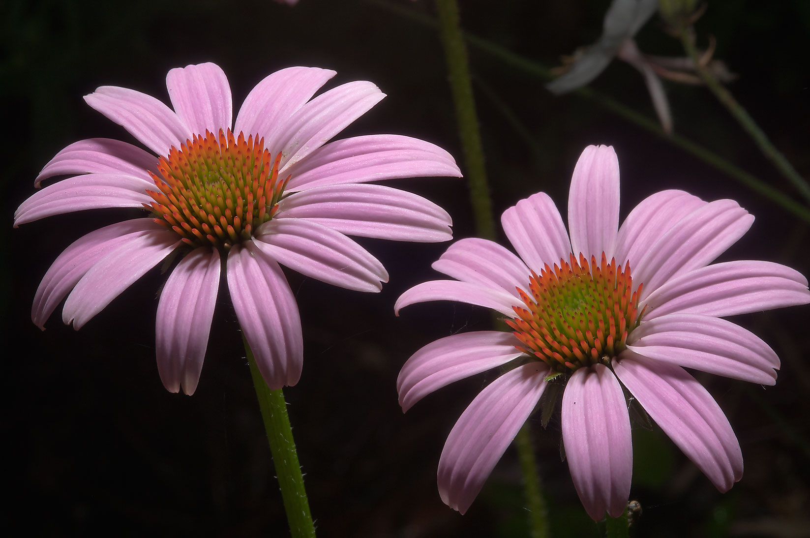 Purple coneflowers in Mercer Arboretum and Botanical Gardens. Humble (Houston area), Texas