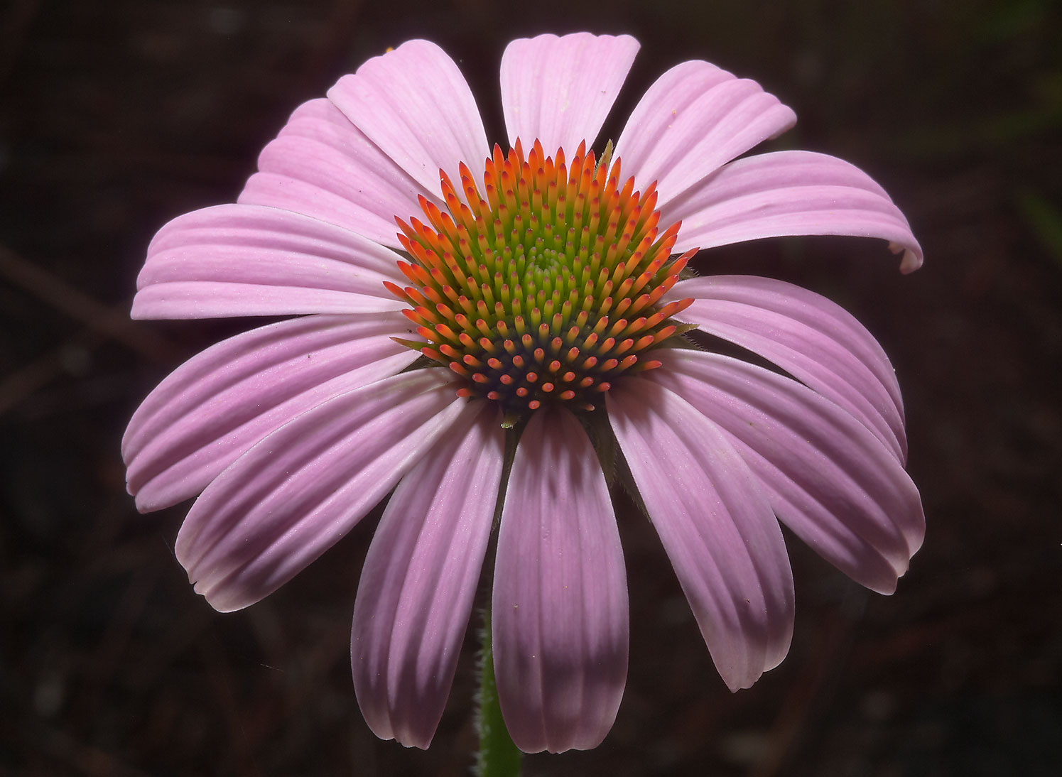 Purple coneflower (Echinacea purpurea) in Mercer...Gardens. Humble (Houston area), Texas