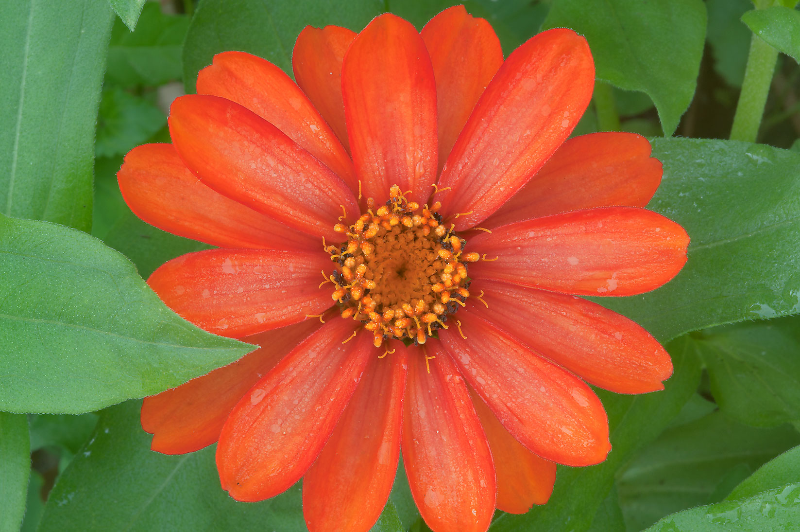 Orange flower of narrowleaf zinnia (Zinnia...Gardens. Humble (Houston area), Texas