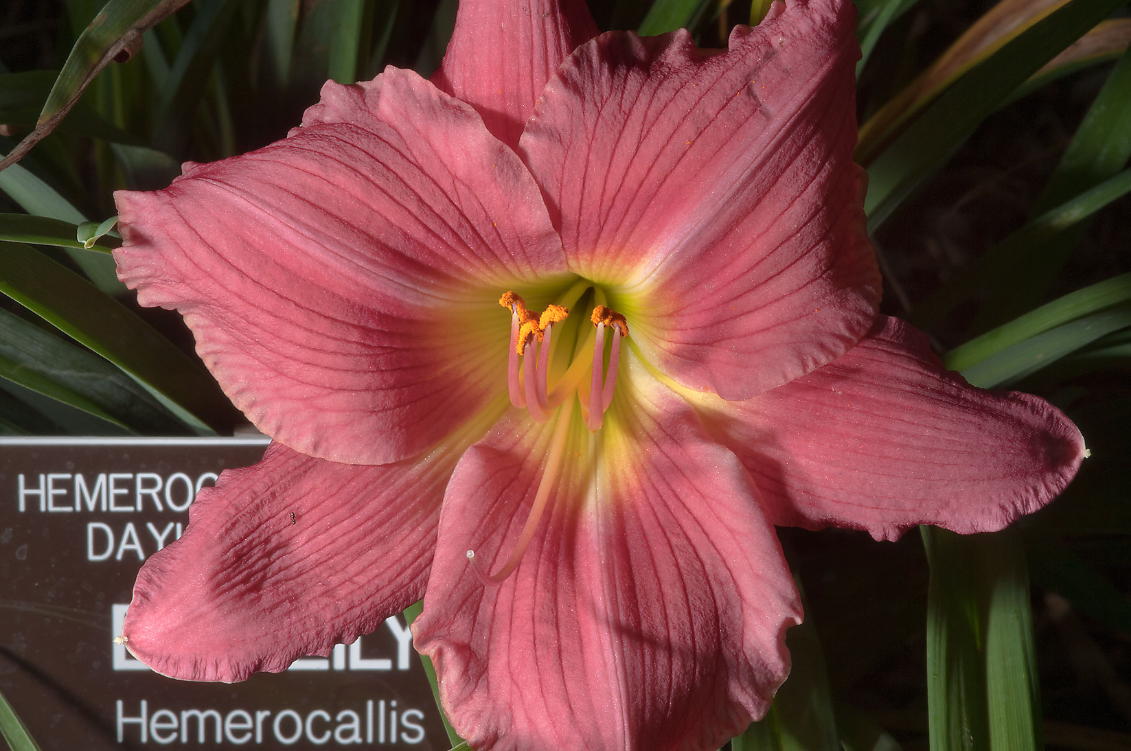 Daylily (Hemerocallis) in Mercer Arboretum and...Gardens. Humble (Houston area), Texas
