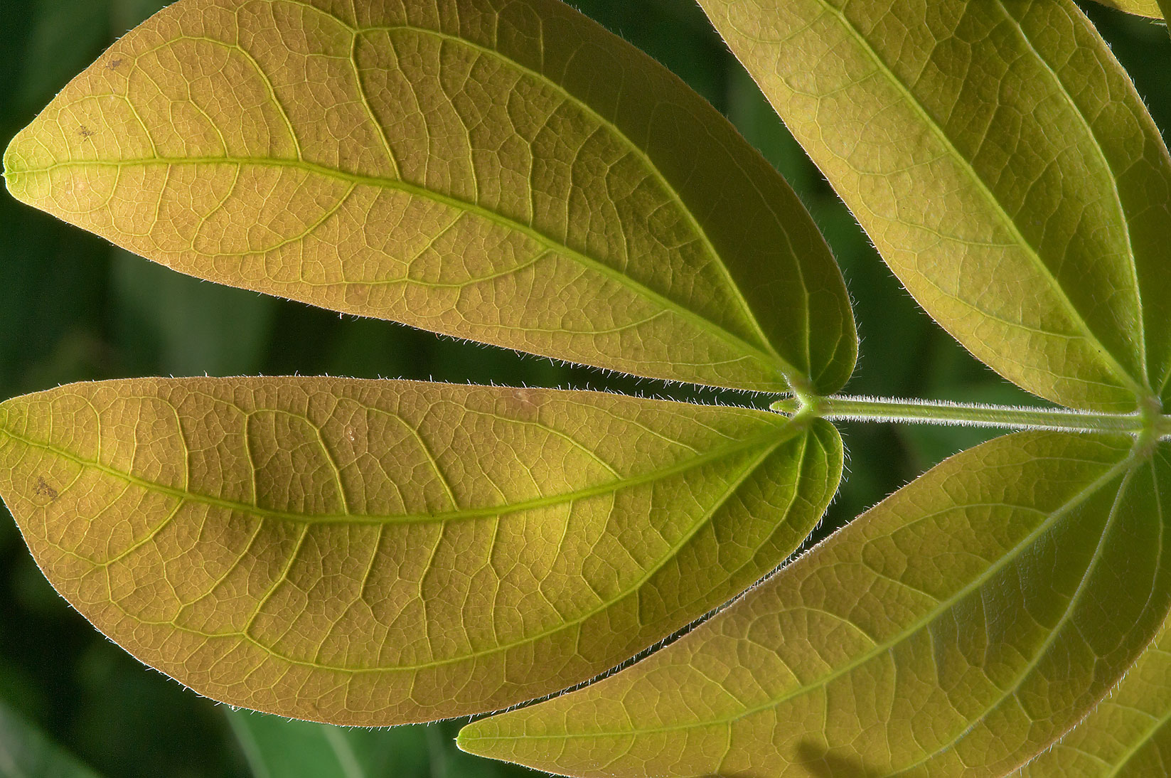 Leaf of Orchid tree (Bauhinia) in Mercer...Gardens. Humble (Houston area), Texas