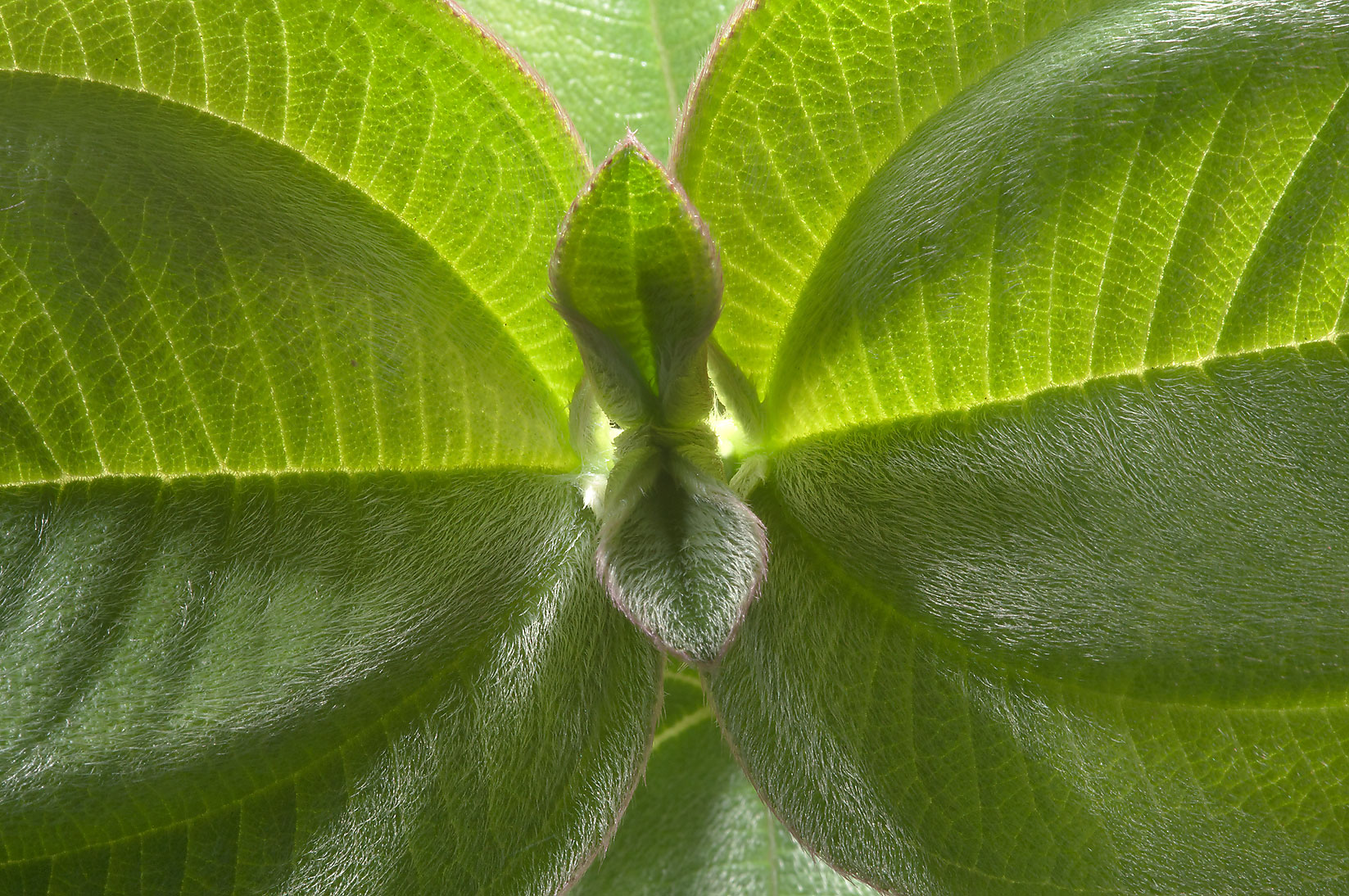 Hairy leaves of Glory Bush (Princess Flower...Gardens. Humble (Houston area), Texas