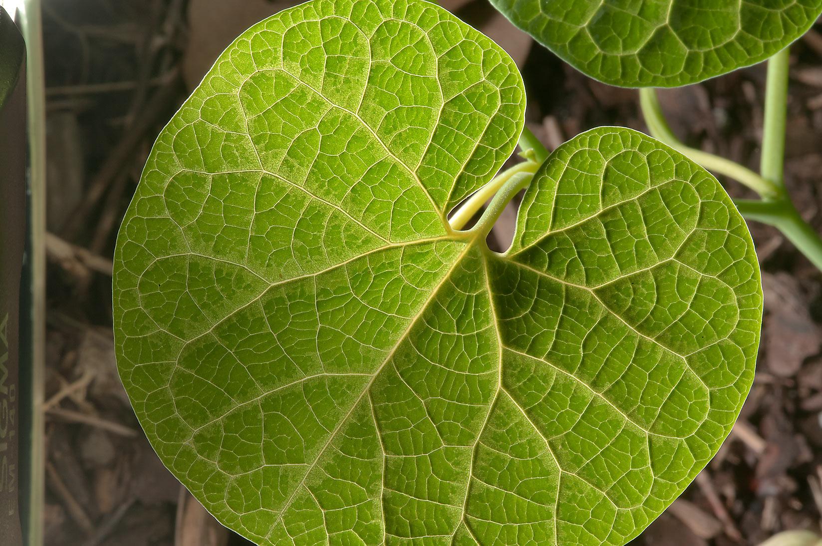 Photo 105809  Leaf venation in Mercer Arboretum and