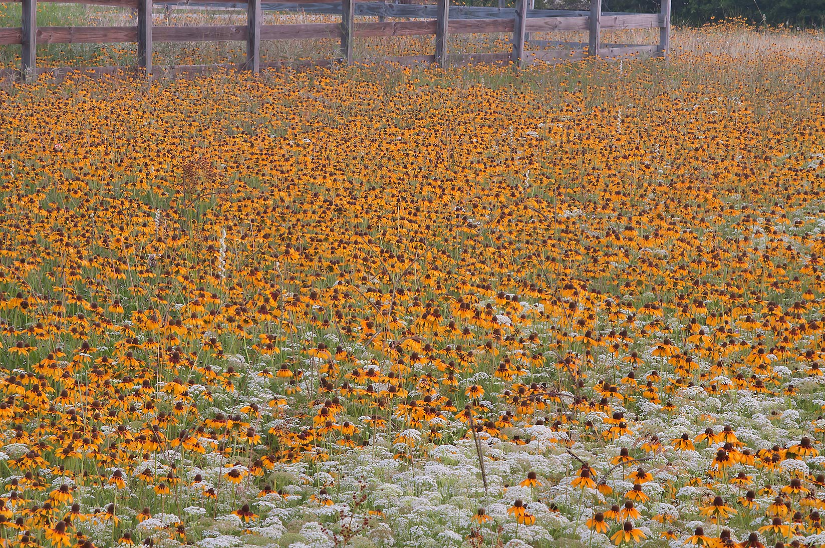 Field of black eyed susan flowers near equestrian...Creek Park. College Station, Texas