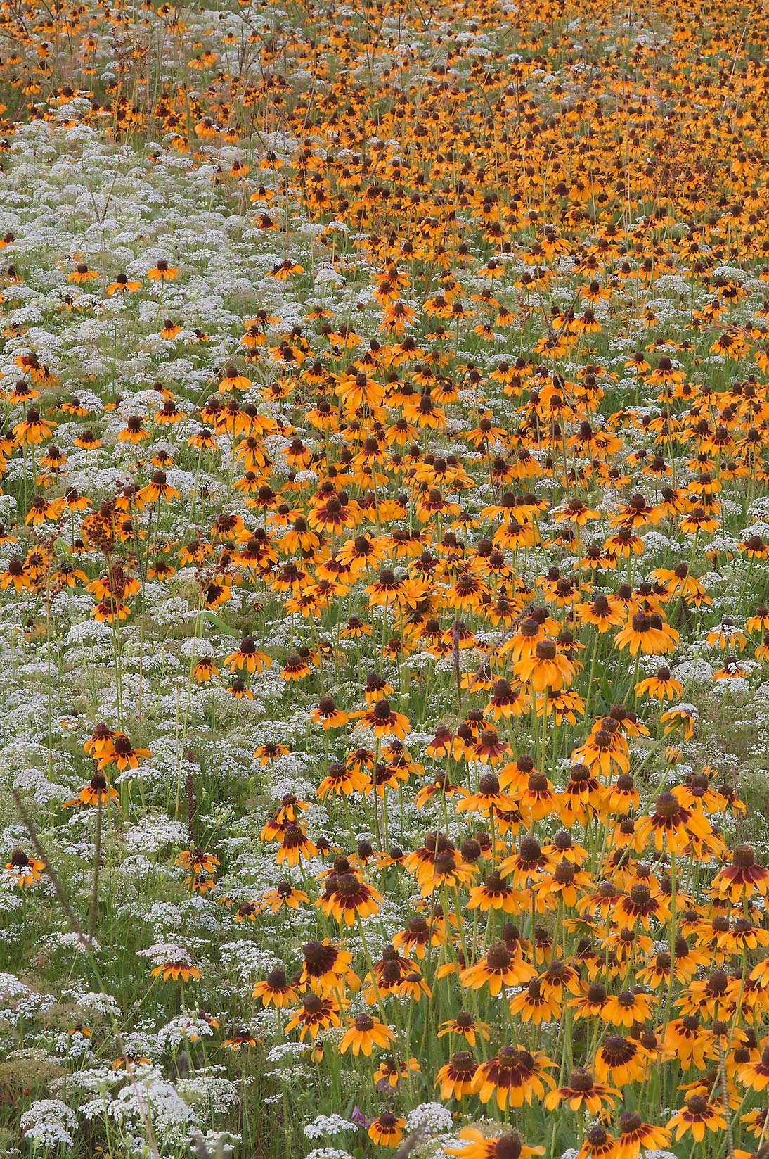 Field of Black-eyed susan (Rudbeckia hirta) and...Creek Park. College Station, Texas