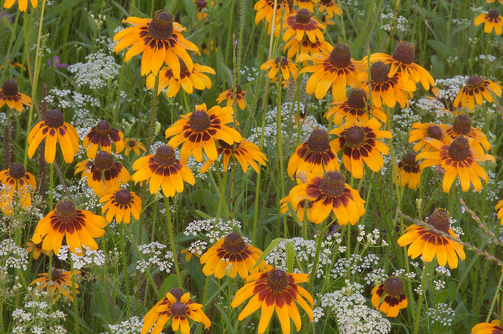 Black-eyed susan flowers at Post Oak Trail in Lick Creek Park. College Station, Texas