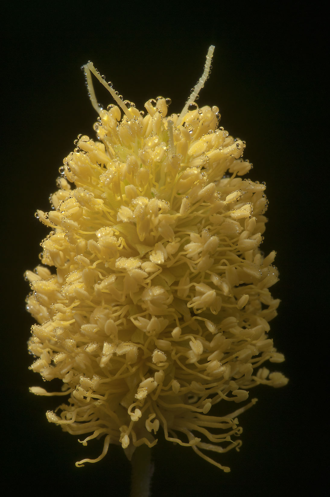 Yellow puff (Neptunia lutea) in Lick Creek Park. College Station, Texas