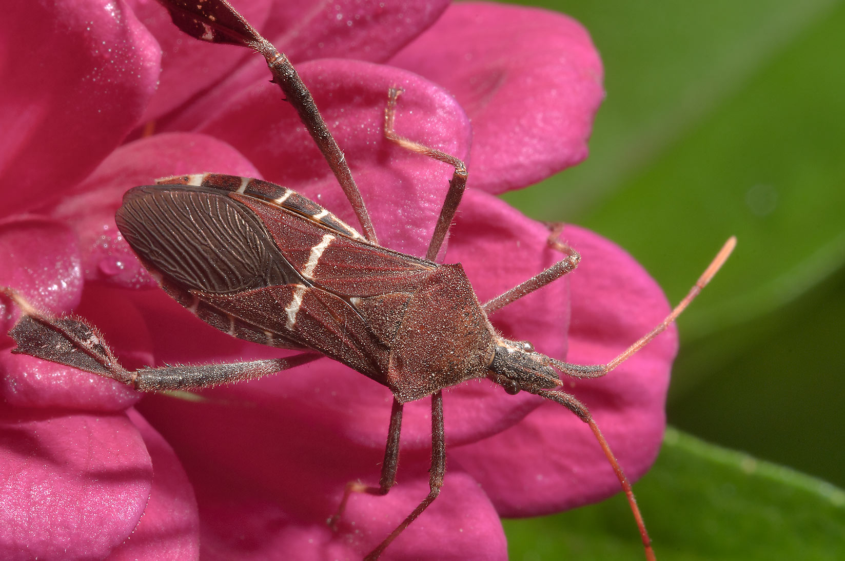Leaf Footed Bug Search In Pictures