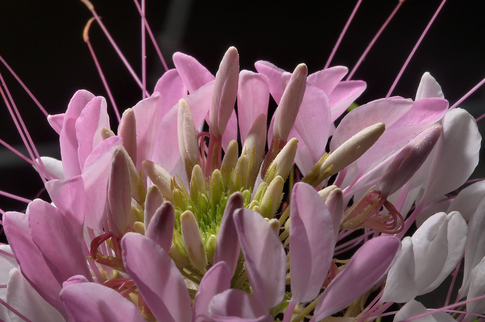 Spider flower (Cleome) in TAMU Horticultural...M University. College Station, Texas