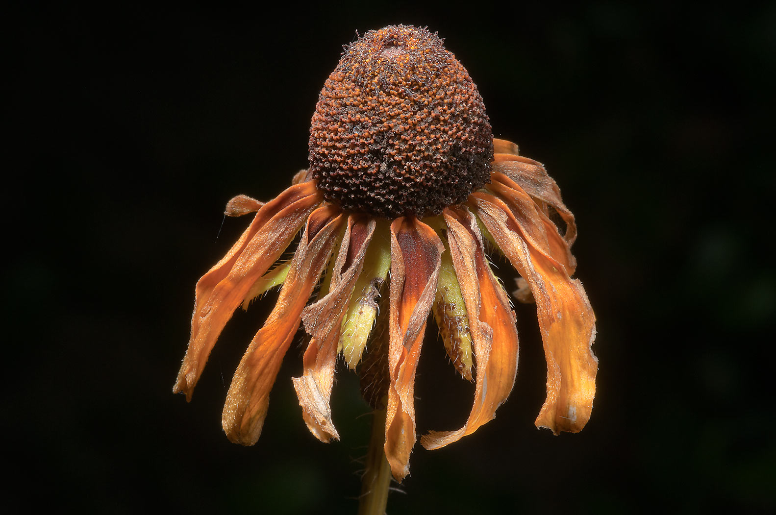 Mature flower of black-eyed susan in Lick Creek Park. College Station, Texas