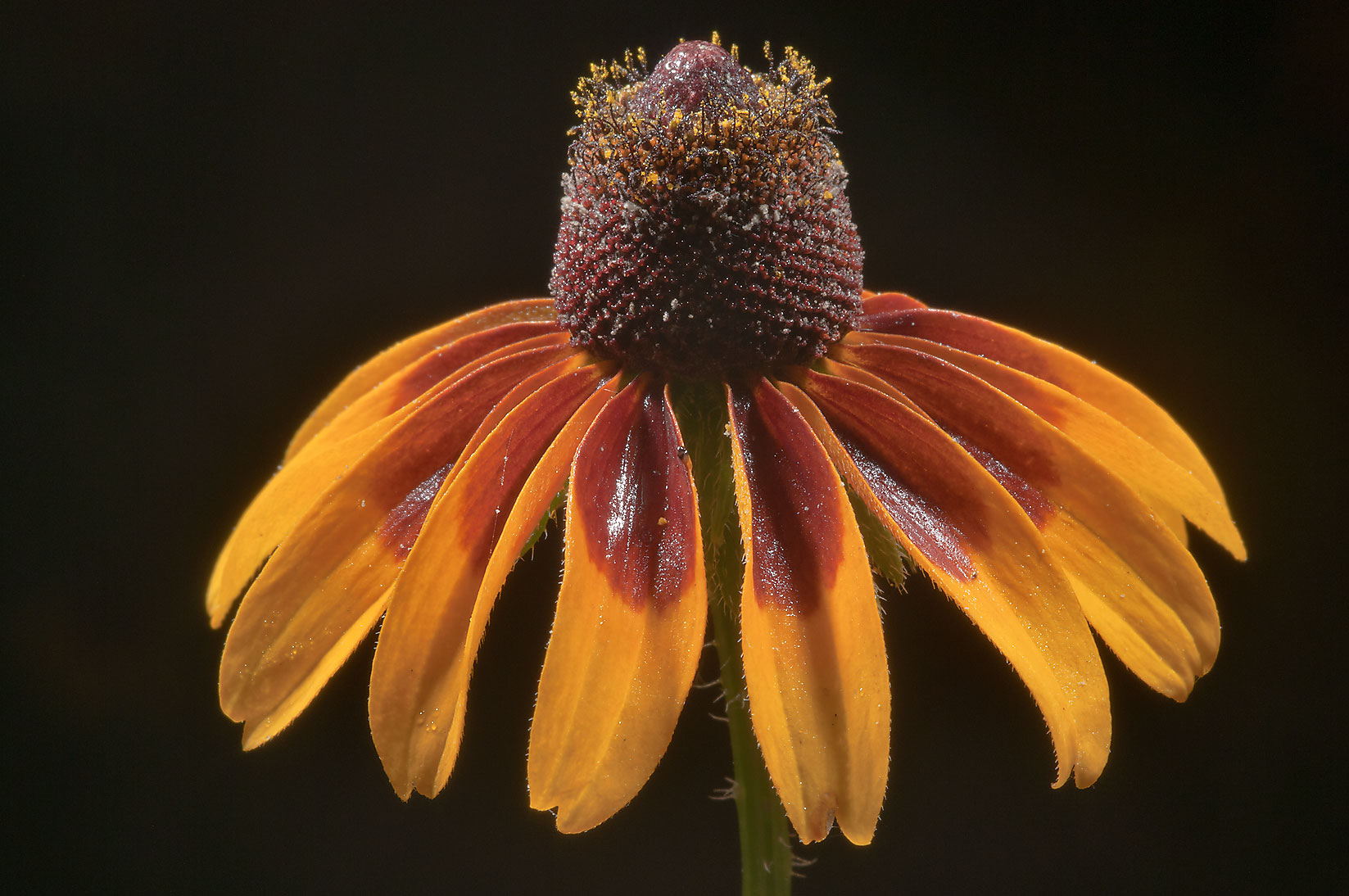 Mature flower of black-eyed susan (Rudbeckia...Creek Park. College Station, Texas