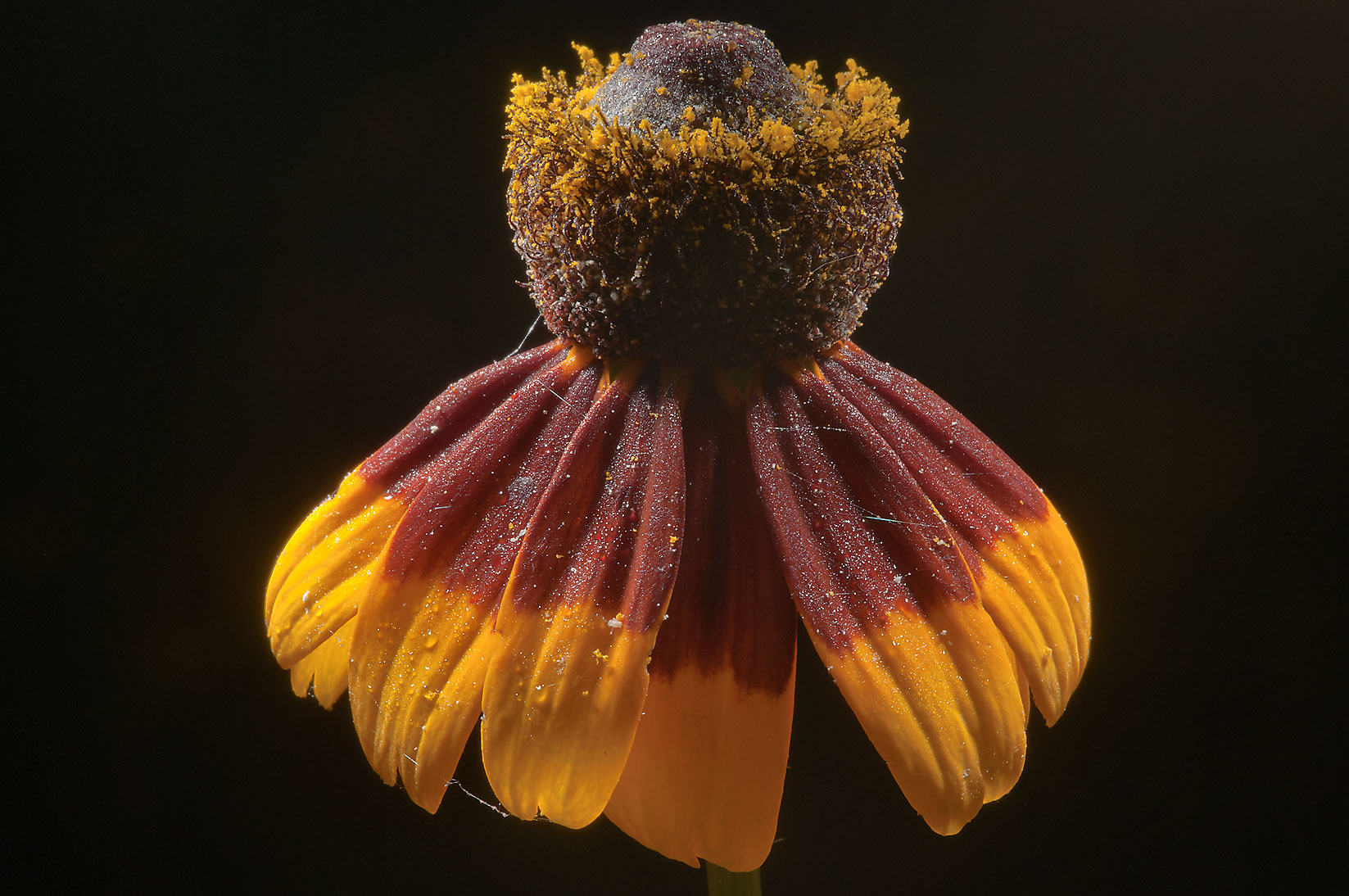 Odd shaped flower of black-eyed susan (Rudbeckia...Creek Park. College Station, Texas