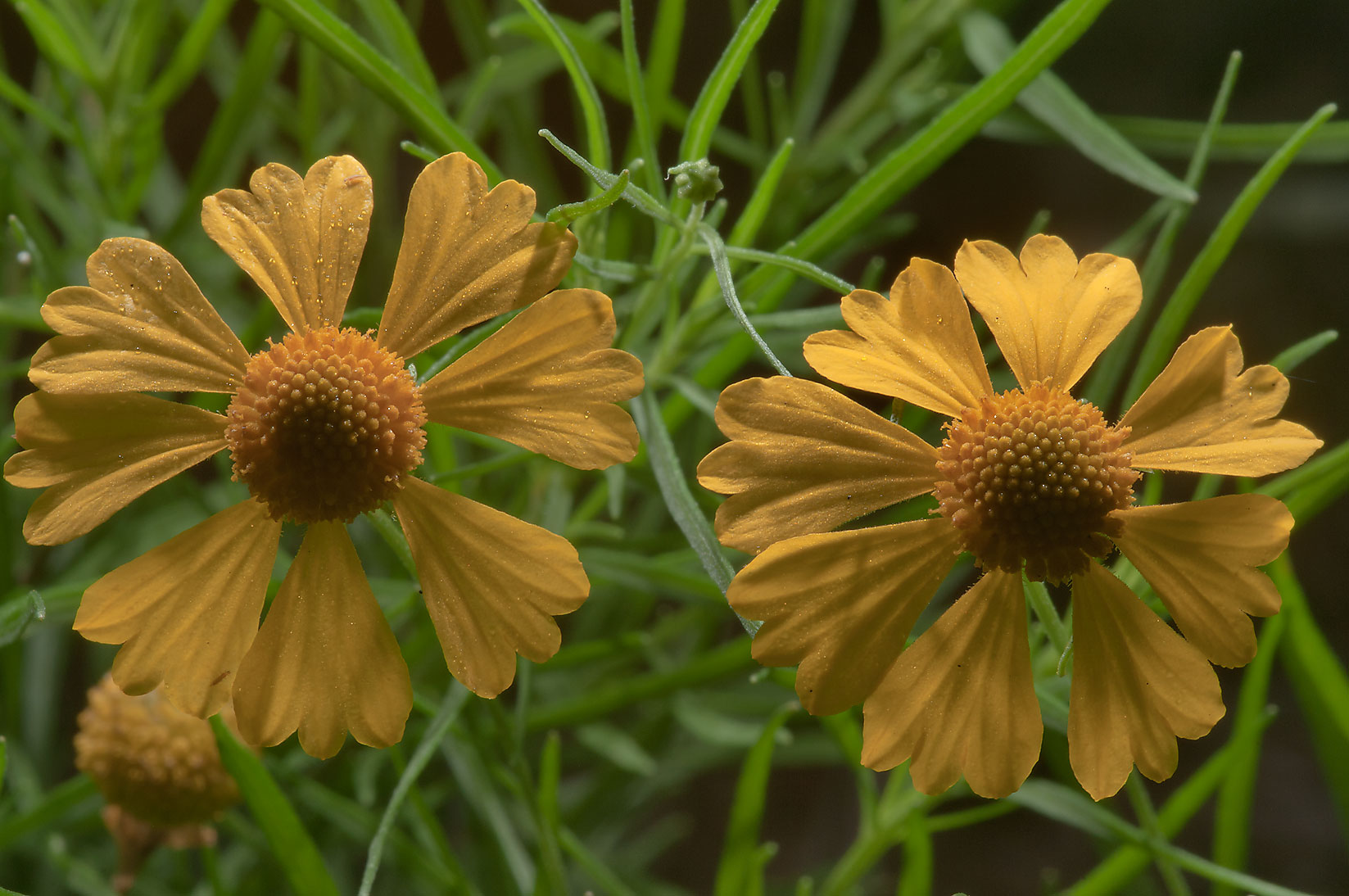 Sneezeweed (Helenium amarum) in Lick Creek Park. College Station, Texas