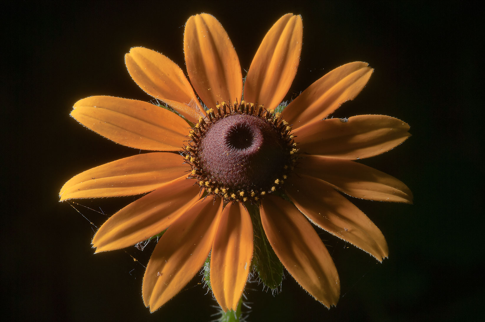 Black eyed susan flower (Rudbeckia hirta) in...National Forest. Richards, Texas