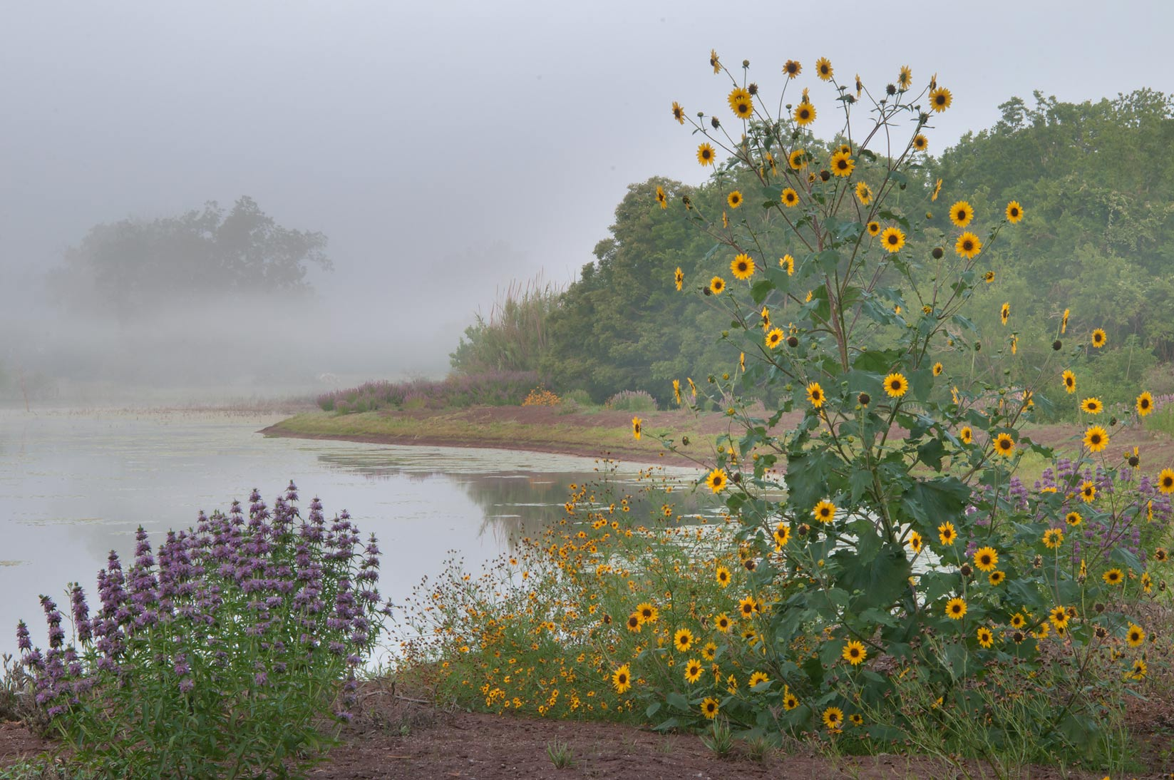 Sunflower and lemon beebalm near a pond in...State Historic Site. Washington, Texas