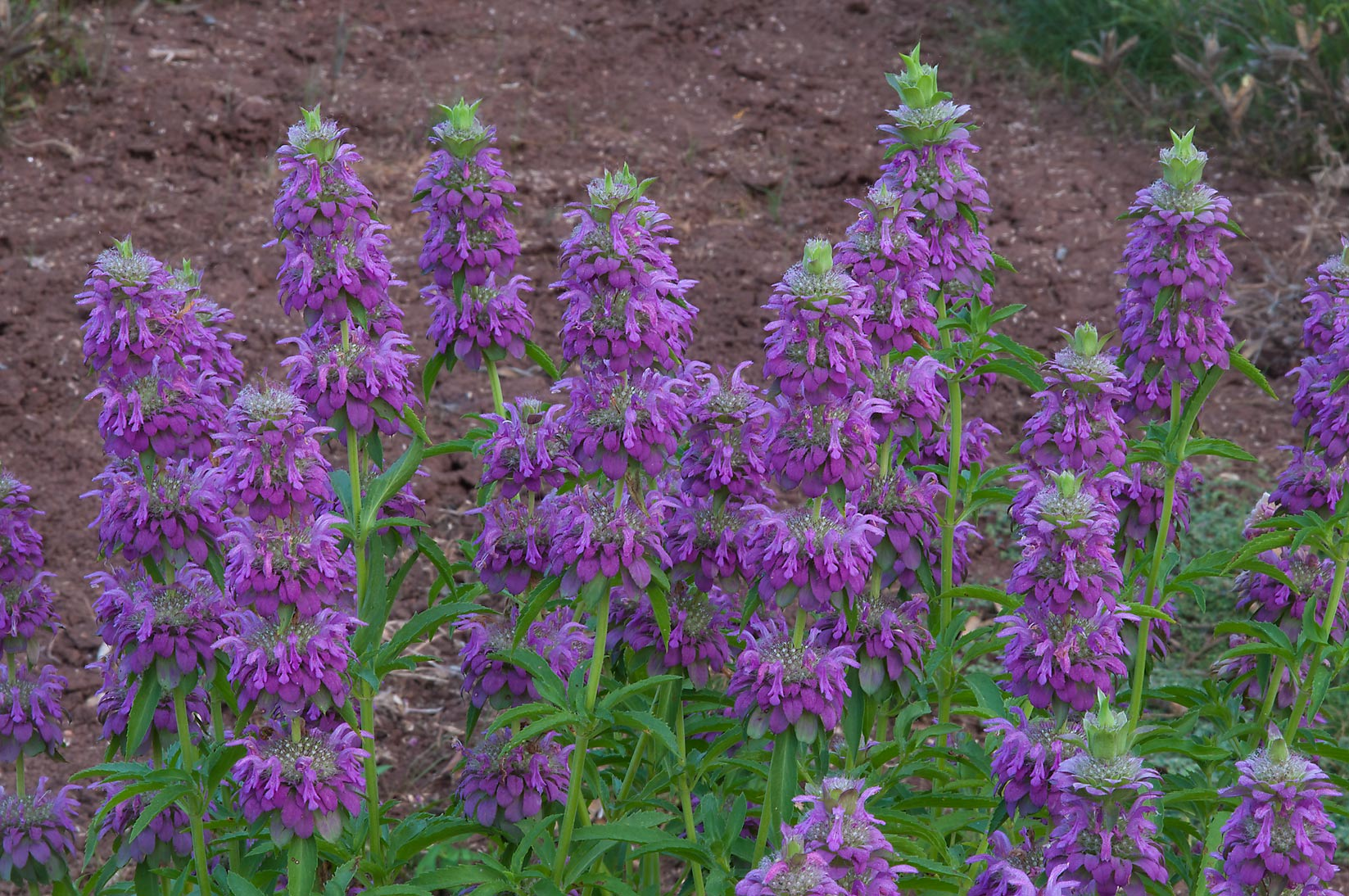 Flowers of lemon beebalm (purple horsemint...State Historic Site. Washington, Texas
