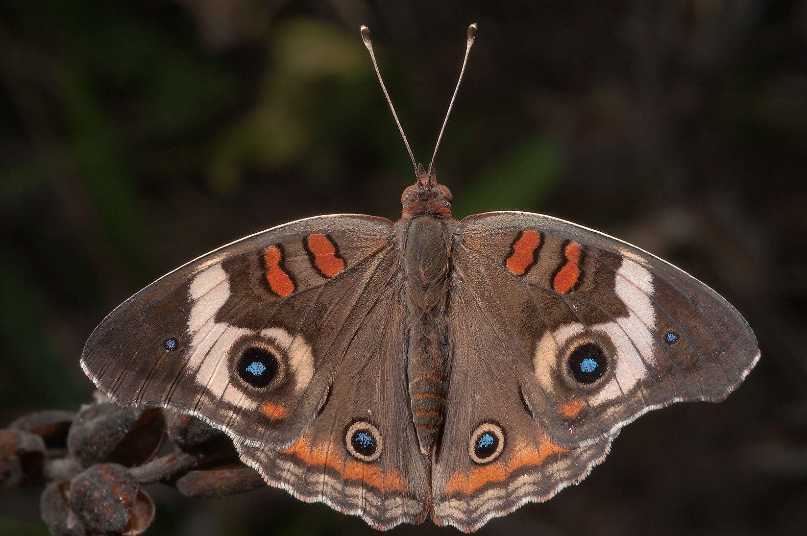 Buckeye butterfly in Washington-on-the-Brazos State Historic Site. Washington, Texas