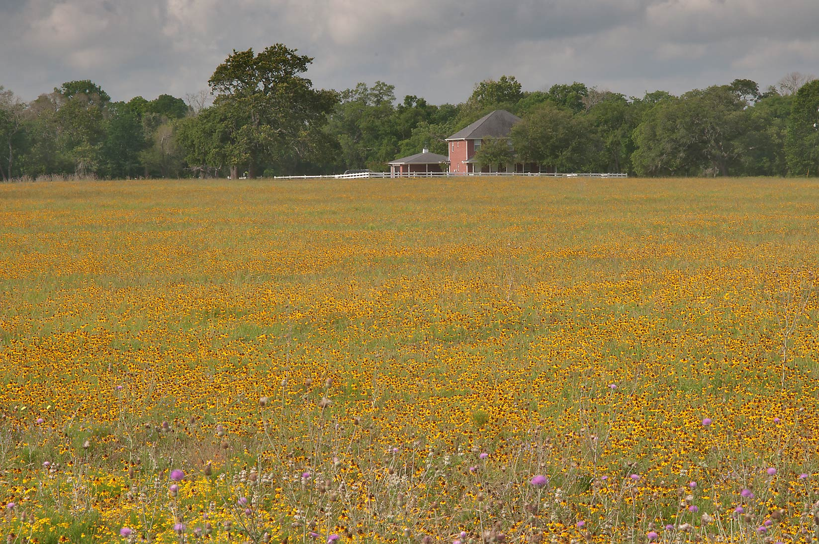 Field of black eyed susan flowers from Rd. 159 near Millican. Texas