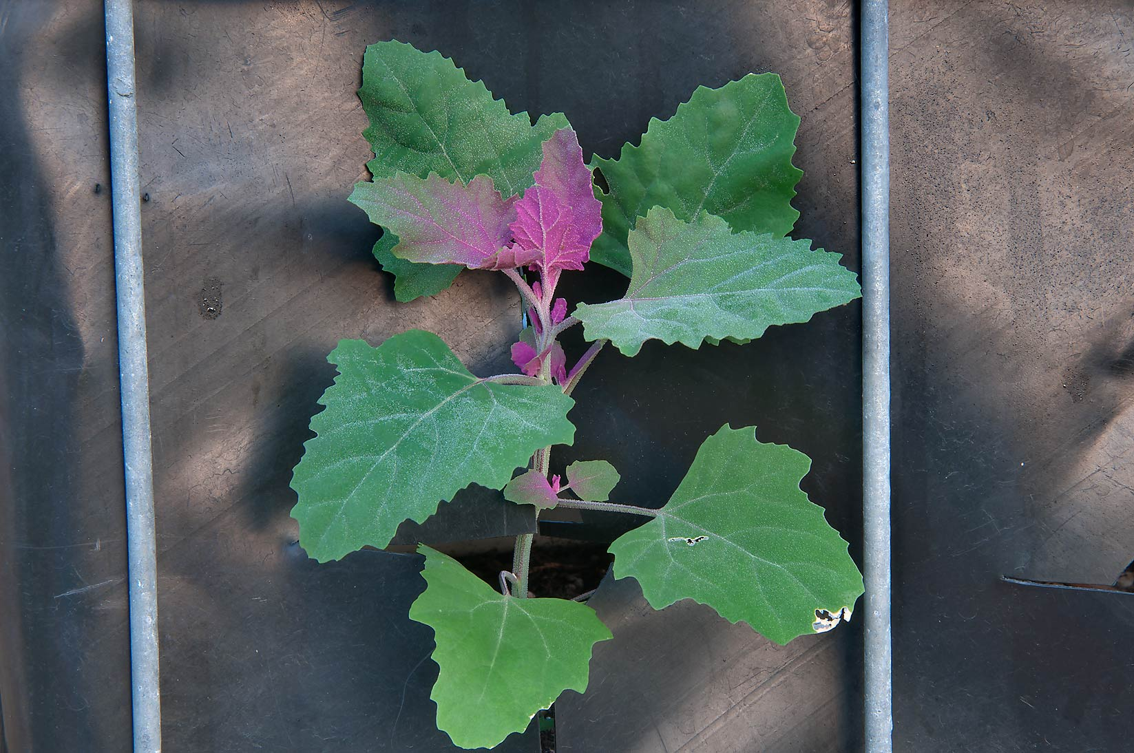 Lambsquarters (Purple Goosefoot, Chenopodium...M University. College Station, Texas