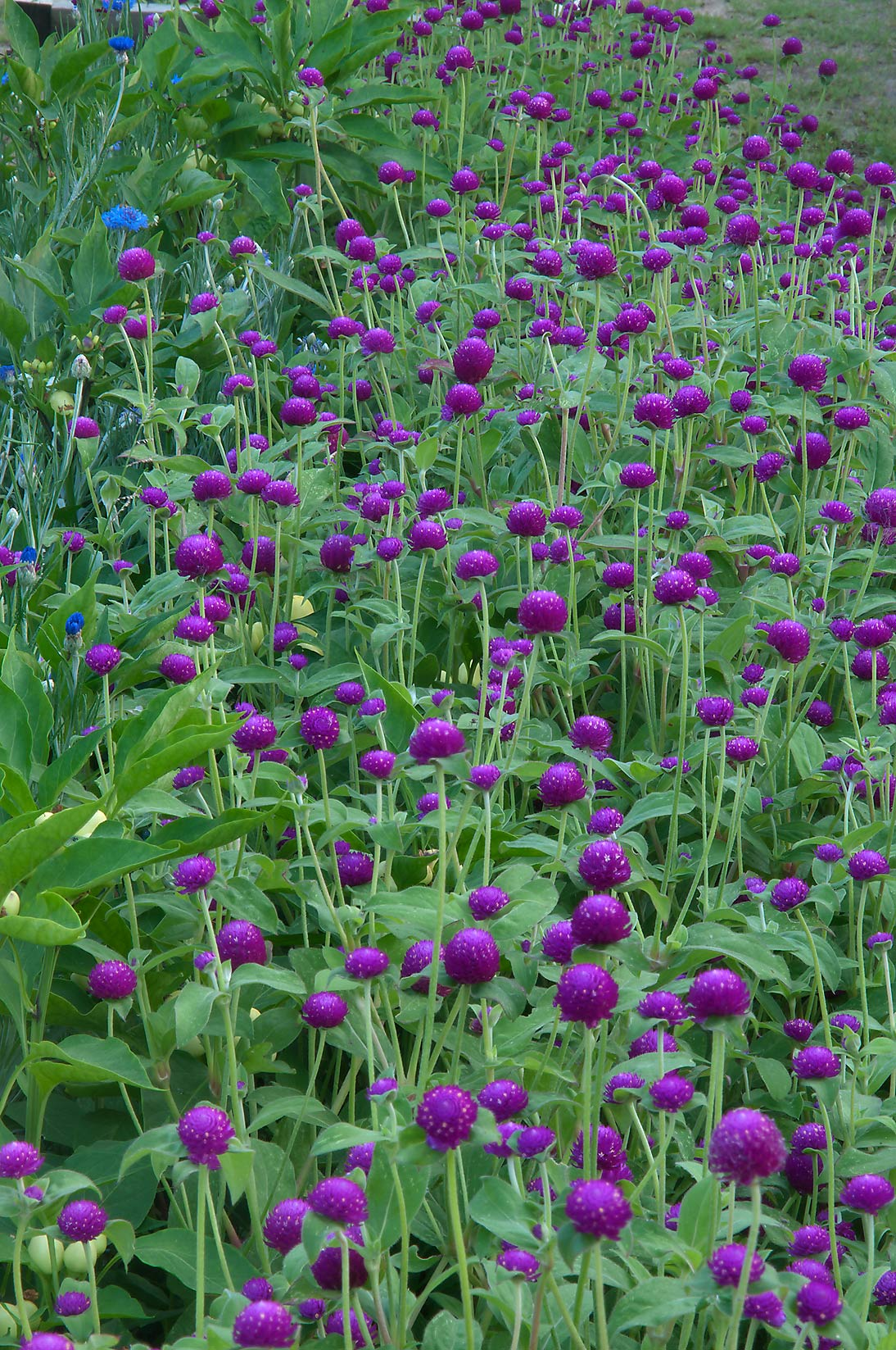 Globe amaranth (Gomphrena globosa) in TAMU...M University. College Station, Texas