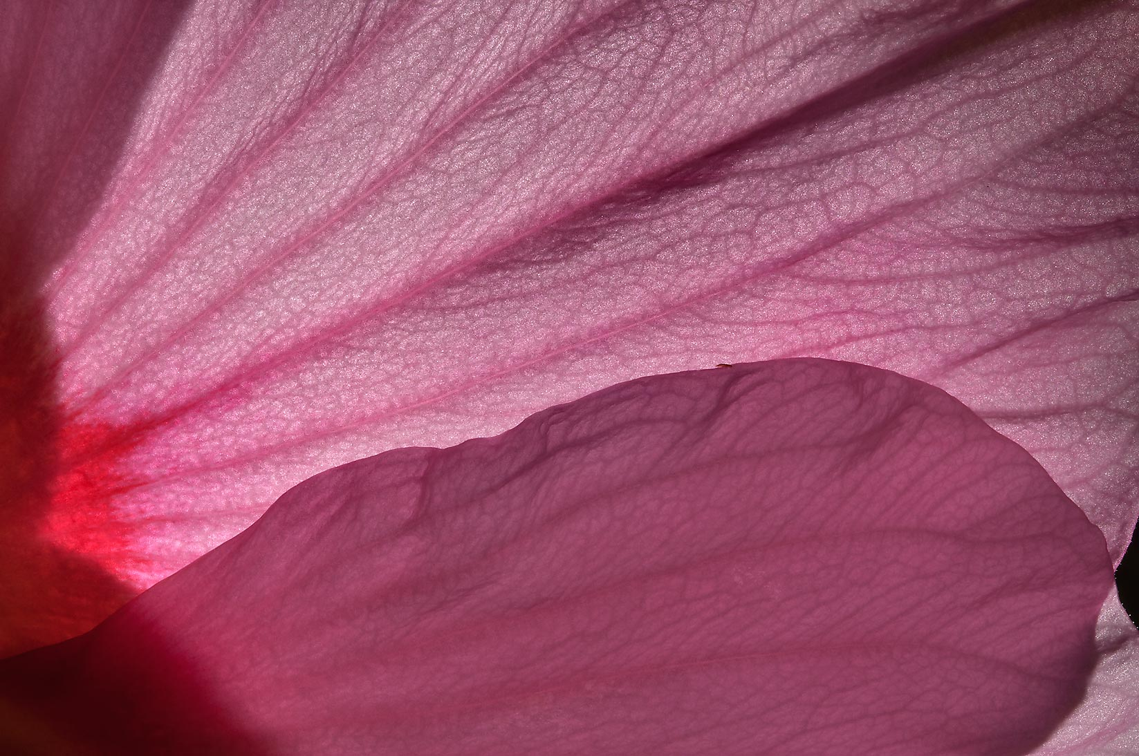 Petals of hibiscus in TAMU Holistic Garden in...M University. College Station, Texas