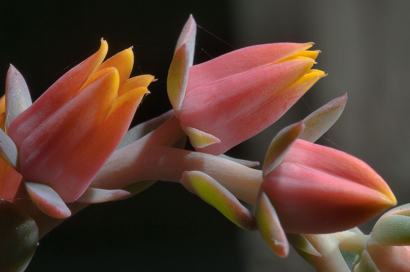 Orange flowers of echeveria in TAMU Holistic...M University. College Station, Texas