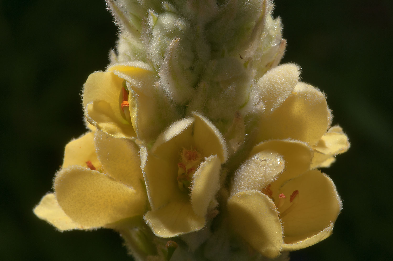 Mullein (Verbascum) in Antique Rose Emporium. Independence, Texas