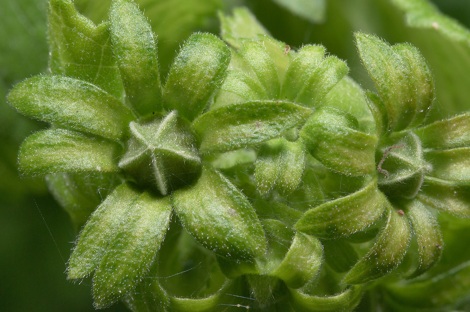Flower buds of Turk' cap (Malvaviscus) in Antique Rose Emporium. Independence, Texas