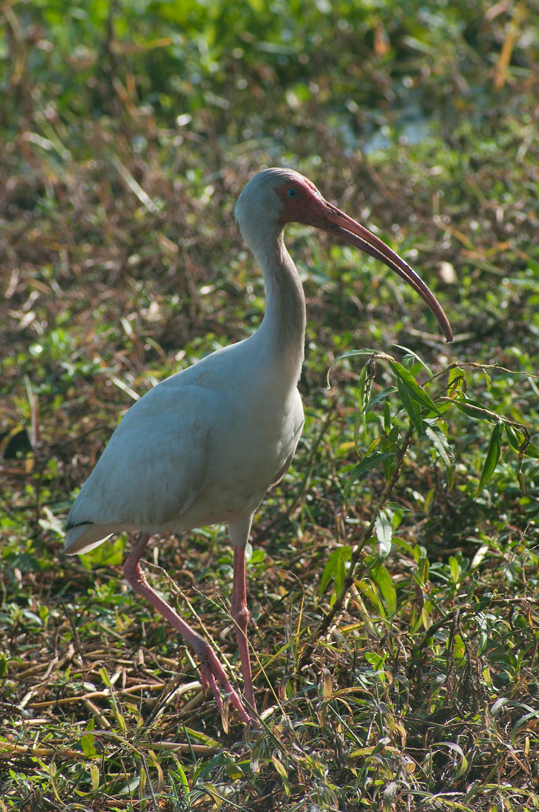 Ibis bird in Brazos Bend State Park. Needville, Texas