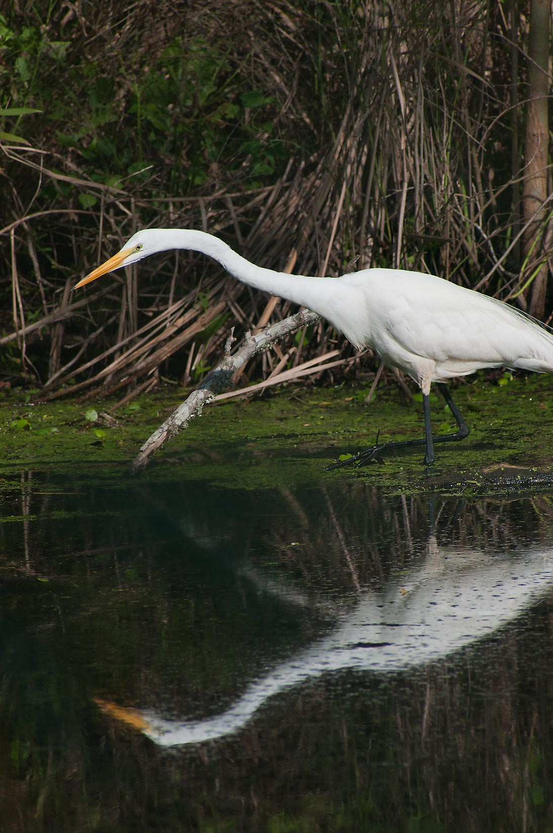 Great white egret (Ardea alba) bird looking for...Bend State Park. Needville, Texas