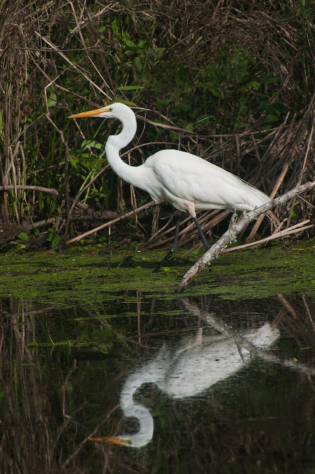 Photo 1066-02: Great white egret (Ardea alba) bird in ...