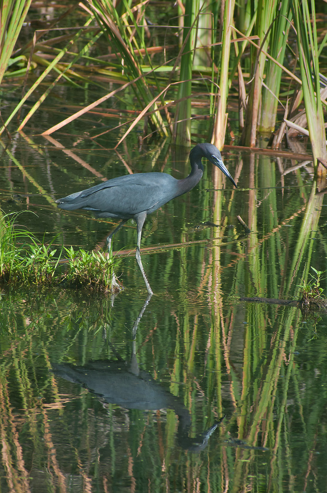 Little blue heron in Brazos Bend State Park. Needville, Texas