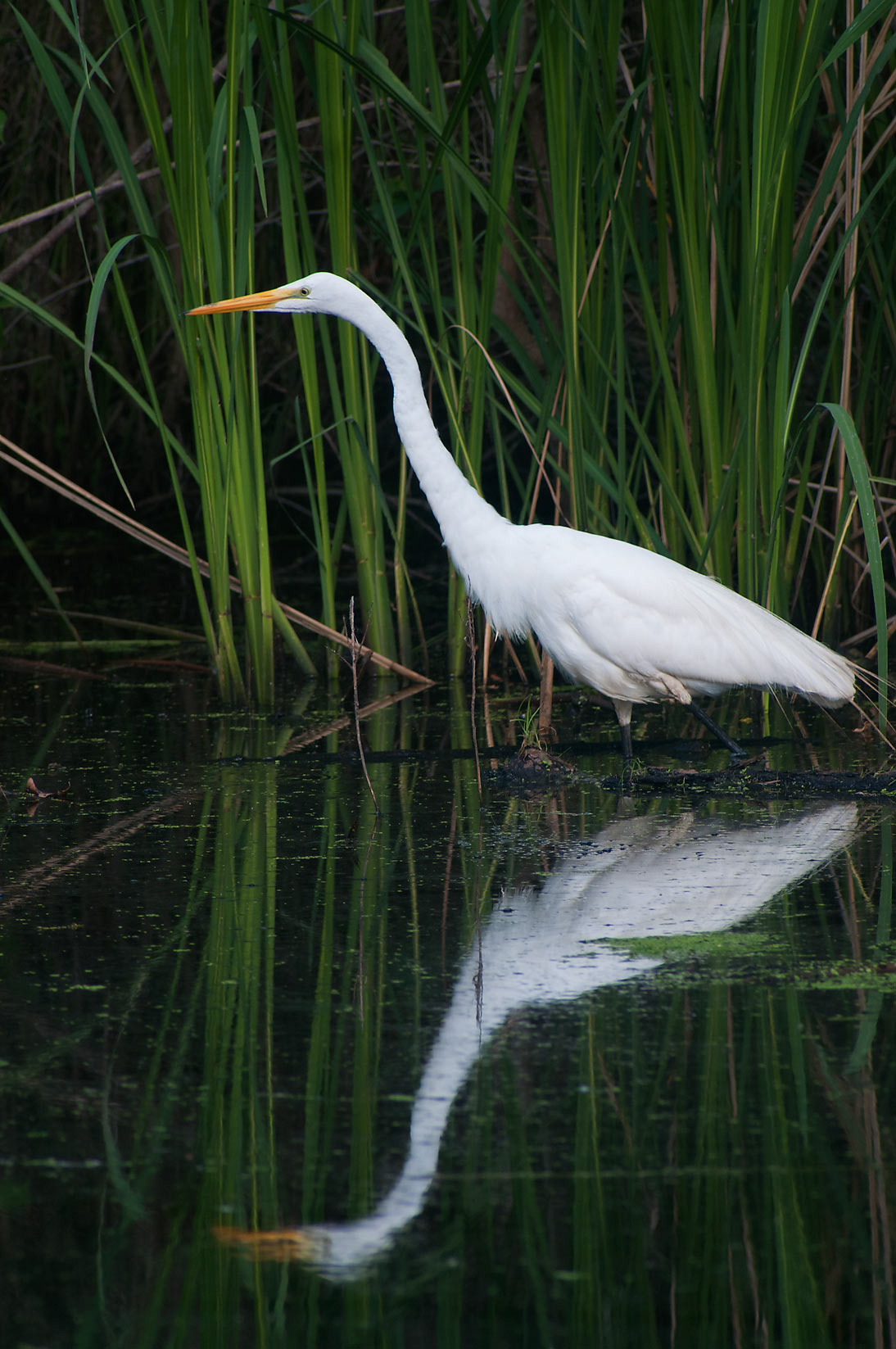 Wading great white egret (Ardea alba) bird in...Bend State Park. Needville, Texas