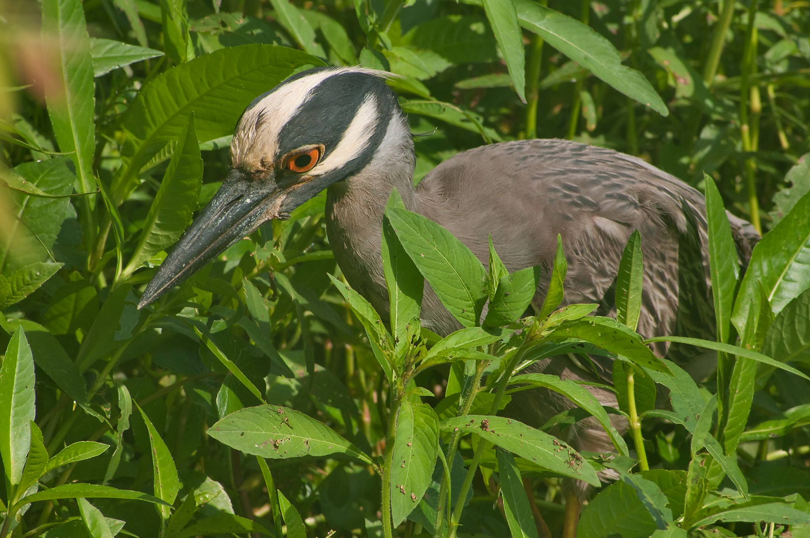 Hunting yellow-crowned night-heron bird in...Bend State Park. Needville, Texas